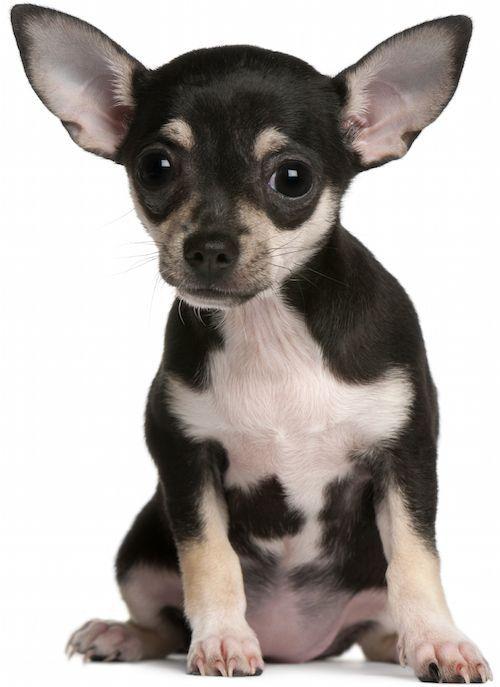 Chihuahua Gesundheitsprobleme Und Lebensdauer Kleine Hunde Hund Chihuahua Terrier Hund
