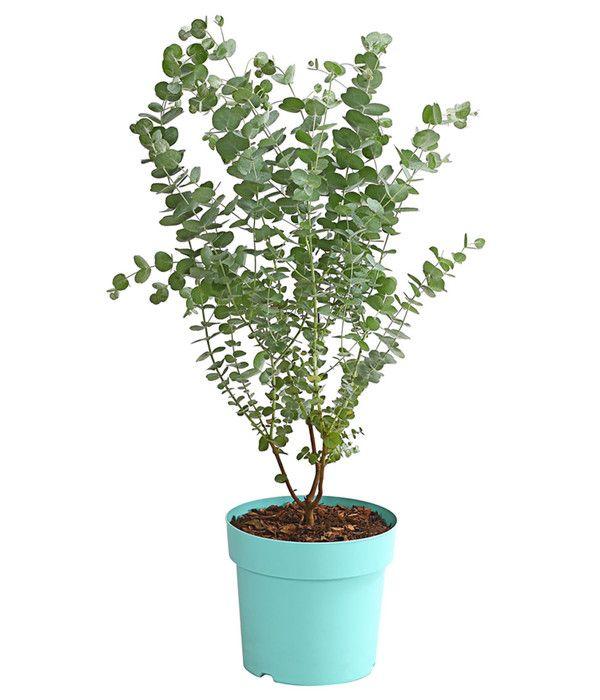 Eukalyptus Azura Bei Dehner At Eukalyptus Azura Pflanzen Gartenpflanzen