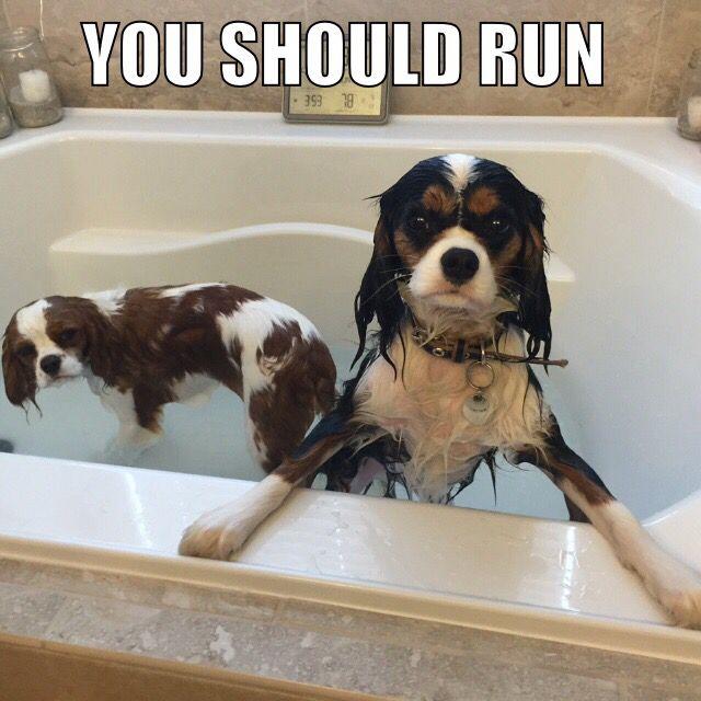 Cavalier bath time meme Follow us on Instagram: Seabassandwaffles