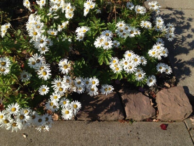 Free Plant Identification Plants, Species, Daisy
