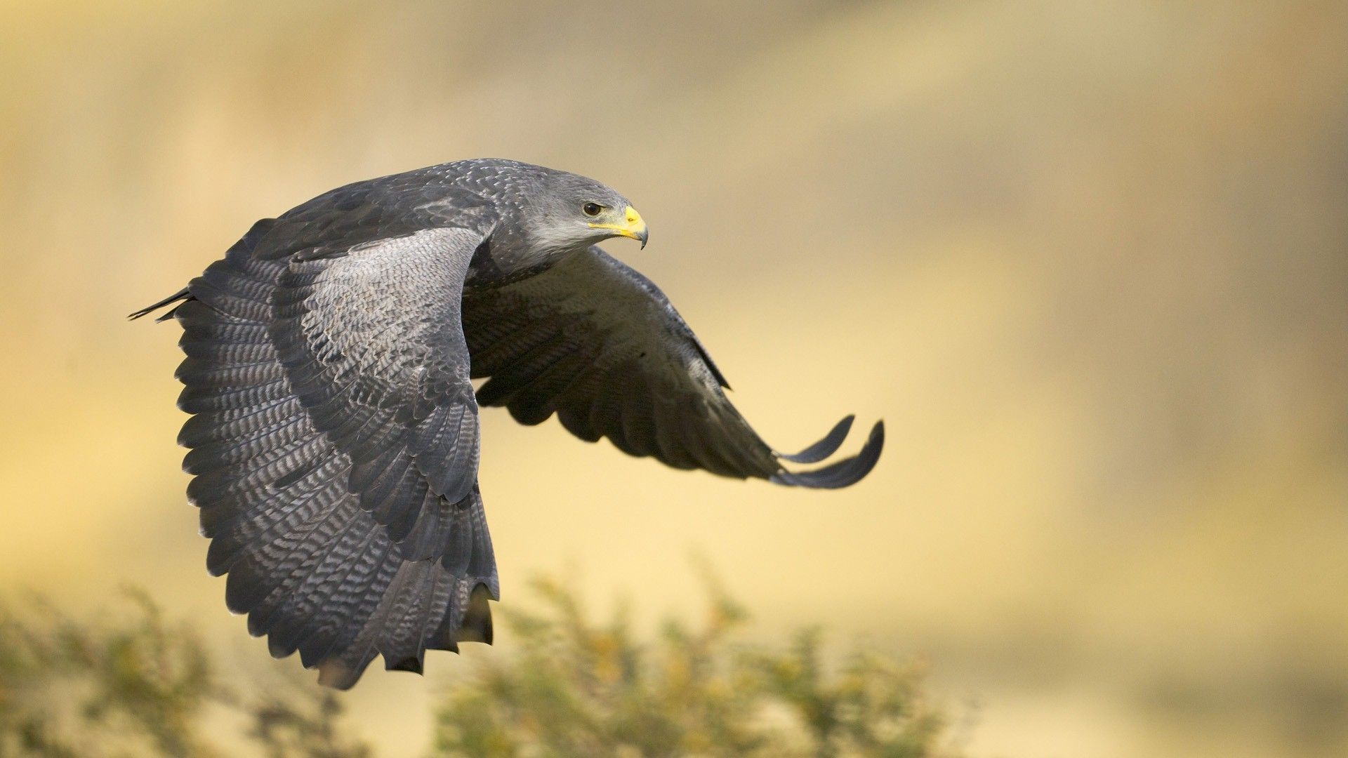 Falcon High Resolution Wallpapers: Peregrine Falcon Wallpaper High Quality Resolution