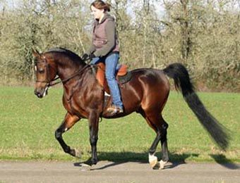 BASKSKO MAGNIFFICO #595999 2002 bay stallion by SV Basksko