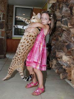 Follow The Piper Savannah Cats Ashera Cat Savannah Chat Savannah Cat
