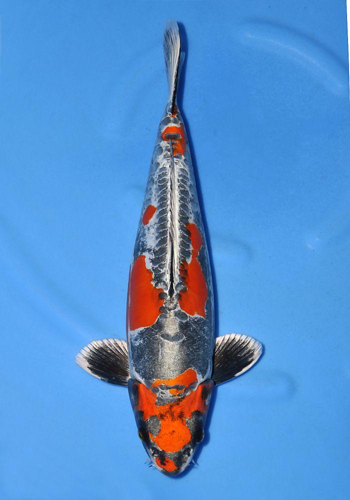 Ozumi ikarashi koi farm beni kikokuryu koi fish for Reproduction carpe koi aquarium