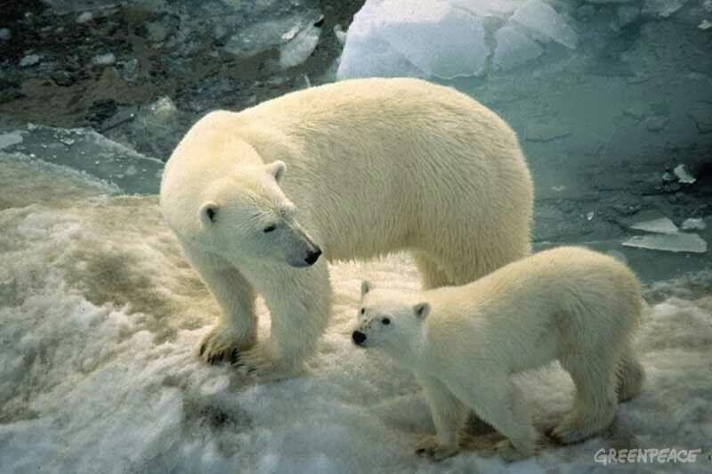 Polar bares