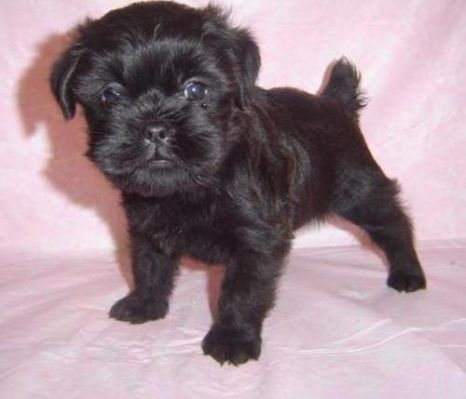 Affenpinscher Puppies For Sale Beautiful Dogs And Puppies