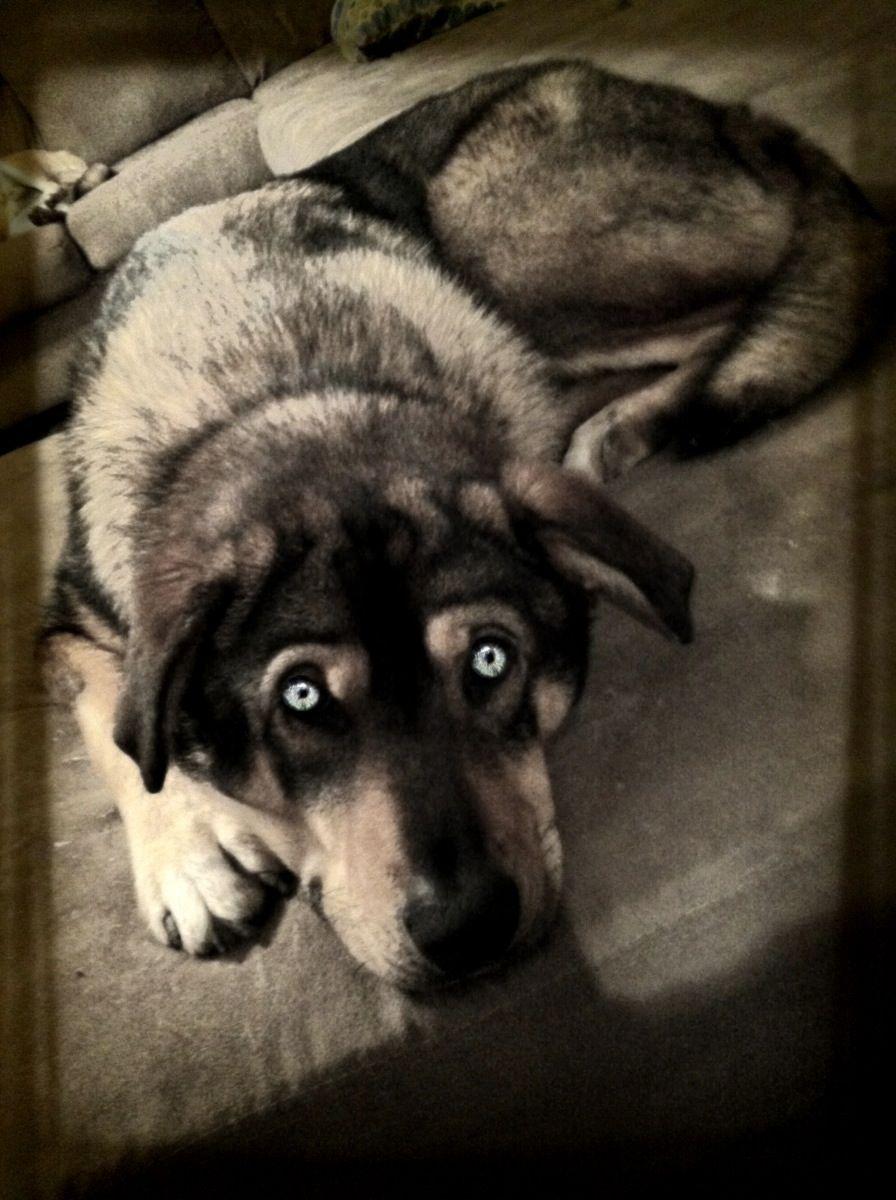 Husky German Shepherd Mix I Love My Puppy Pet Dogs Puppies Baby Animals