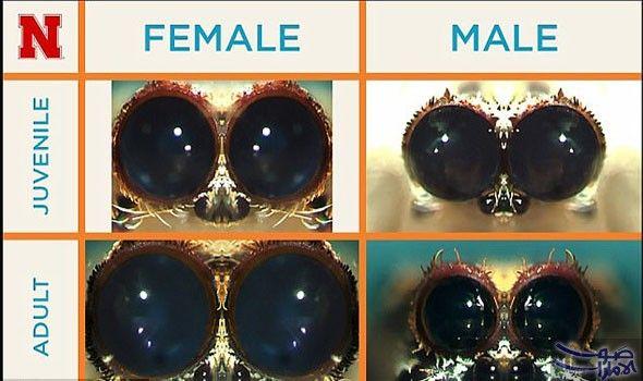 باحثون يؤكدون تقلص عيون العناكب الإناث بنسبة 21 عند البلوغ كشفت أبحاث جديدة الفرق بين عيون أنثى العنكبوت والذكر حيث وجد العلماء أ Huge Eyes It Cast Spider