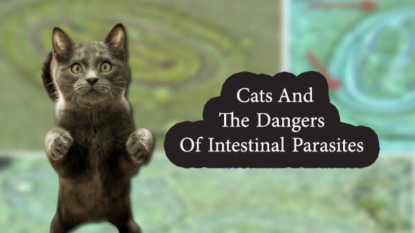 Cats And The Dangers Of Intestinal Parasites Intestinal Parasites Parasite Cat Care