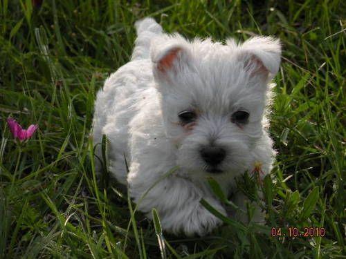 Cute westie puppy 12 weeks (With images) Westie puppies