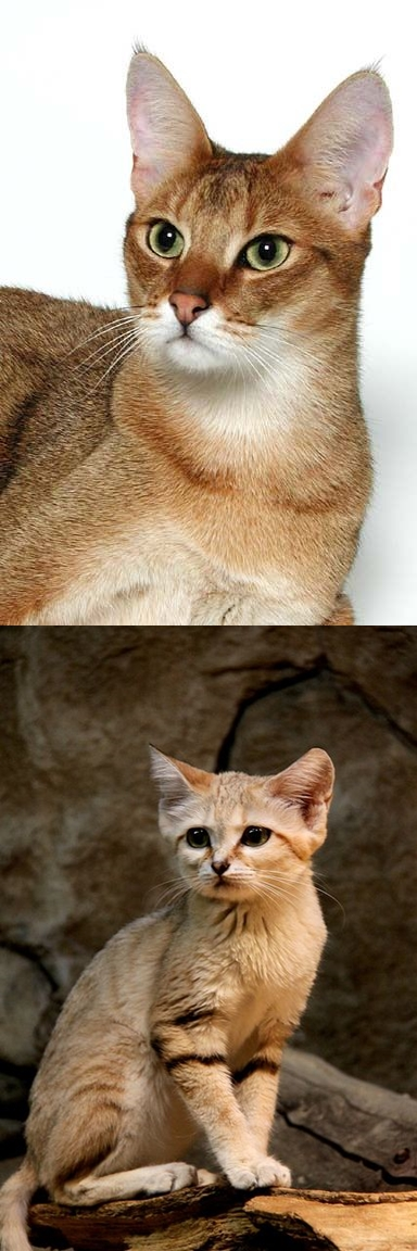 Little Known Sand Cat, Central Asia Cute animals, Wild cats