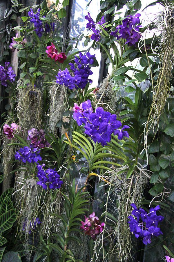 vanda orquidea - Buscar con Google