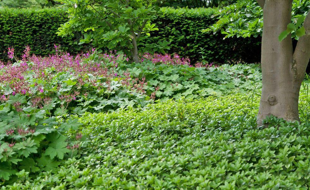 Wer Seinen Garten Pflegeleicht Gestalten Möchte, Sollte Größere Flächen Mit  Bodendeckern Begrünen. Bei Der Bodenvorbereitung, Beim Pflanzen Und Bei Der  ...