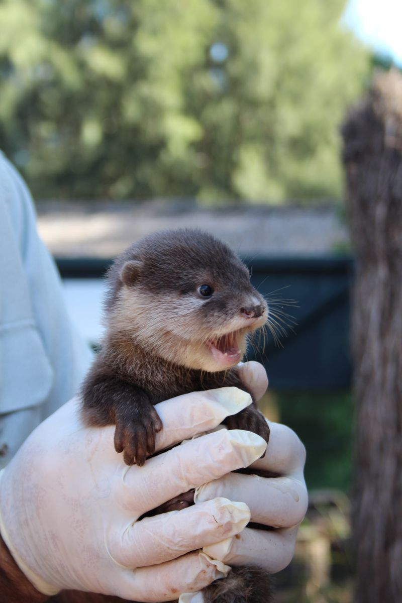 Pet Otter Australia Otter Pups Venturing Out With Their Fam Baby Otters Cute