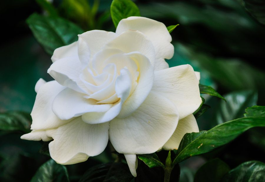 6 Plants To Keep In Your Bedroom For Better Sleep Petal Talk Gardenia Plant Fragrant Plant Planting Flowers