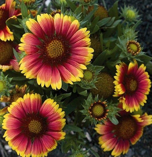 Arizona Sun Blanket Flower - Monrovia - Arizona Sun Blanket Flower.. Attracts Gold Finches