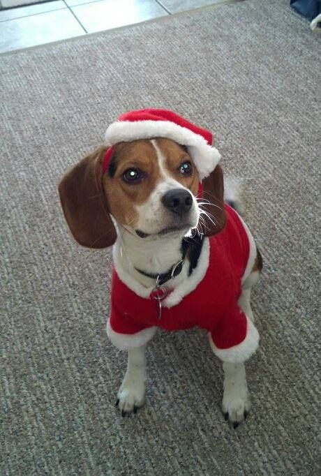 Santa Beagle Santa Dog Dog Daycare Christmas Dog