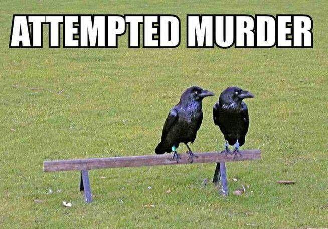 stupid crow