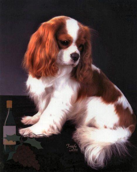 Cavalier King Charles Spaniel (คาวาเลียร์ คิง ชาร์ลส์ สแปเนียล)   สแปเนียล,  คาวาเลียร์, หมา