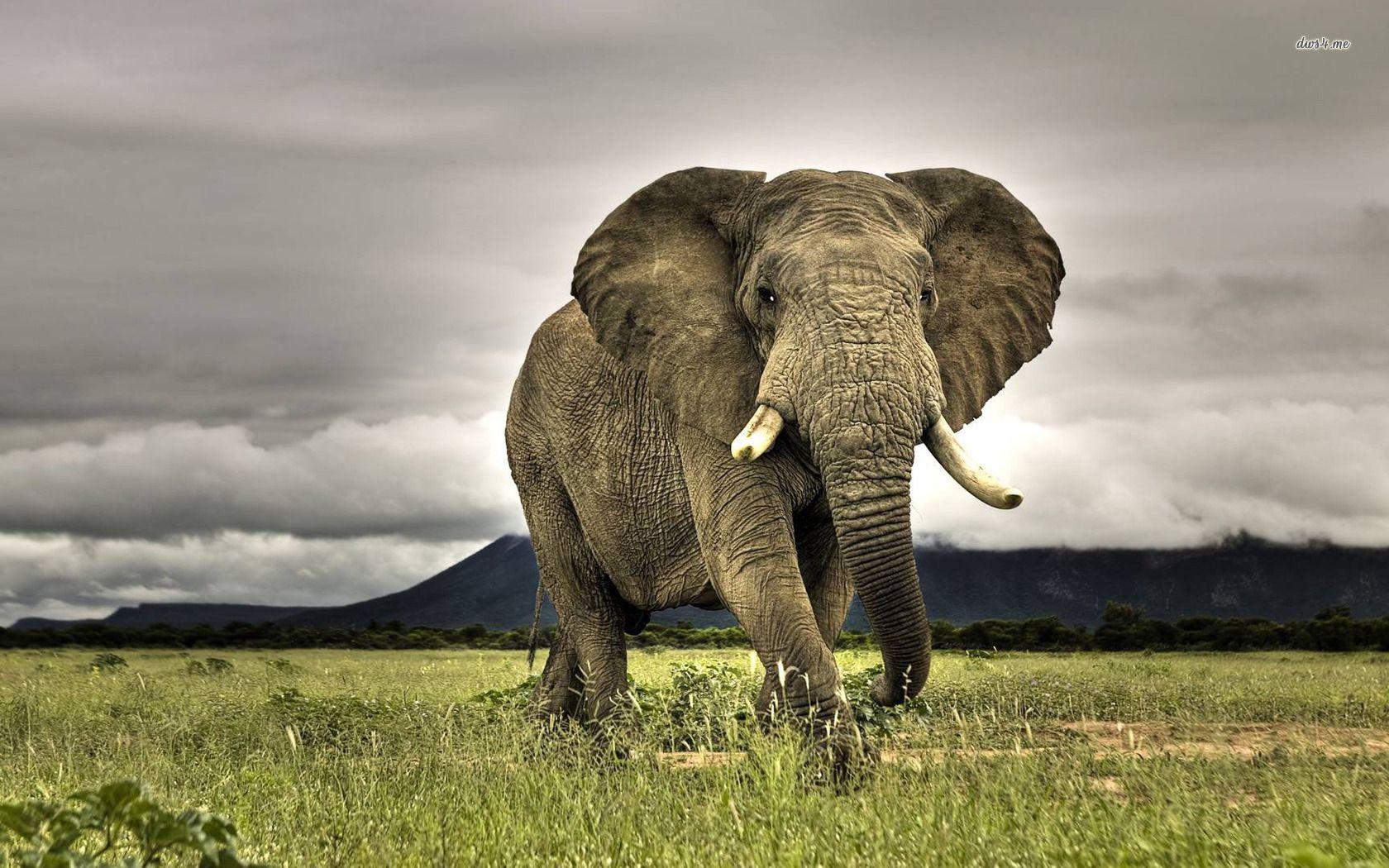 African Elephant African Elephant Wallpaper 1280x800 African Elephant Wallpaper Elephant Wallpaper Elephant Phone Wallpaper Bull Elephant