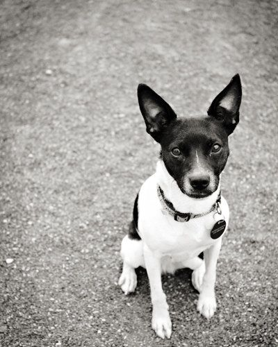 Boston Terrier Chihuahua Dog Breed Dog Breeds Chihuahua Dogs