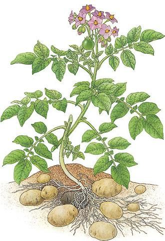 pomme-terre-botanique.jpg (330×480)