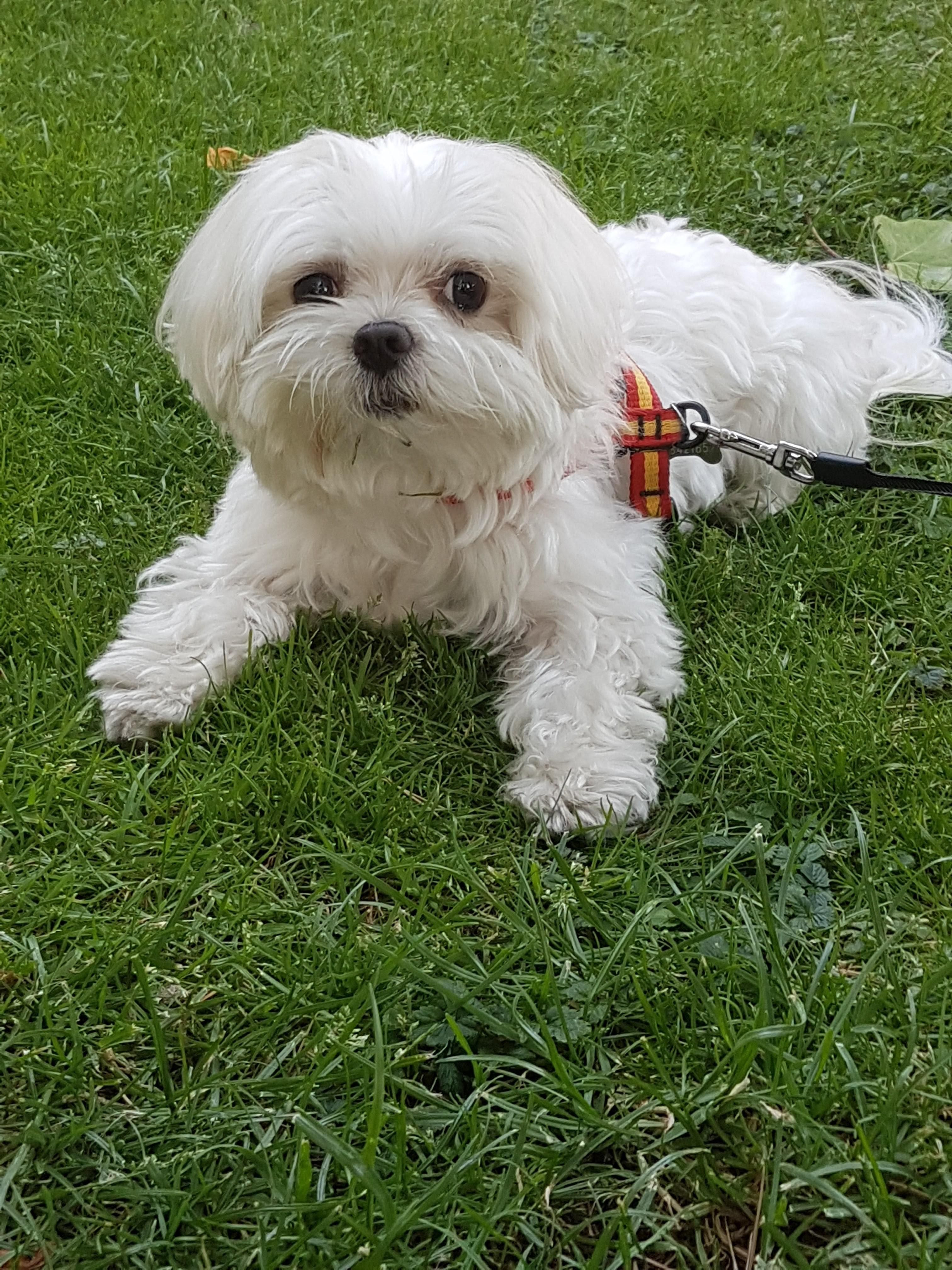 Hi Reddit Meet My Maltese Yuko We Adoted This Little Guy 2 Years Ago He S The Cutest Thing Dogs Kitty Lovecats Kittens An Maltese Cat Day Maltese Dogs