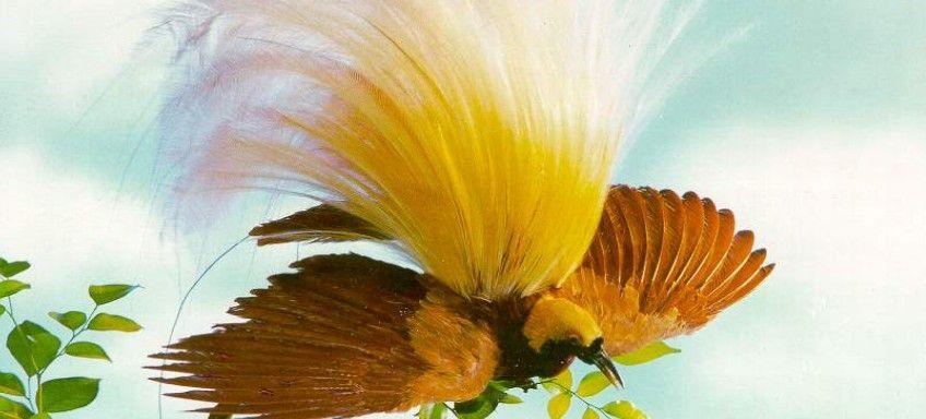 Burung Cendrawasih Burung Lukisan Hewan Hewan