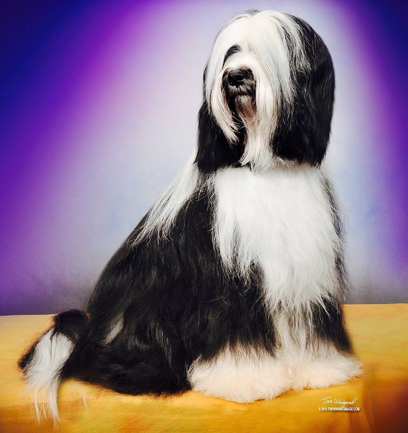 Welcome To The Tibetan Terriers Of Ivyglenn Best In Show Breeder Of Merit Many Champions Tibetan Terrier Puppies Ava Tibetan Terrier Terrier Puppies Terrier