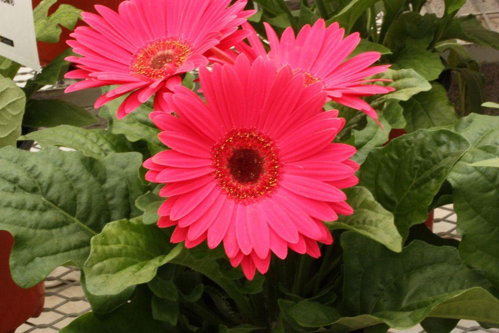 Bulk Gerbera Daisy Seeds Gerbera Daisy Seeds Gerbera Daisy Gerbera