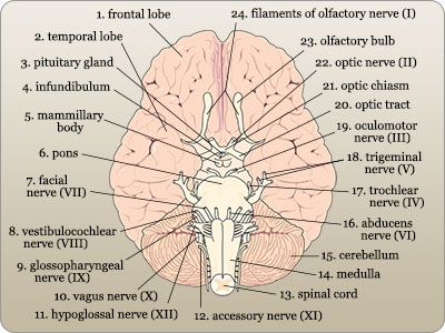brain diagram pons 3 phase electric heat wiring labeled of a cross section top view anatomy and