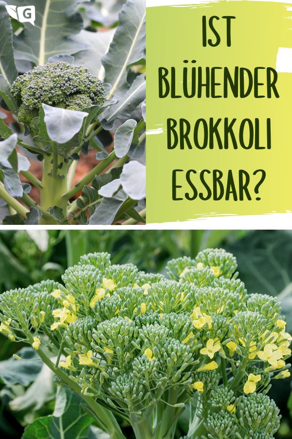 Ist Bluhender Brokkoli Essbar Alle Infos Gartendialog De Brokkoli Pflanzen Brokkoli Rankende Pflanze