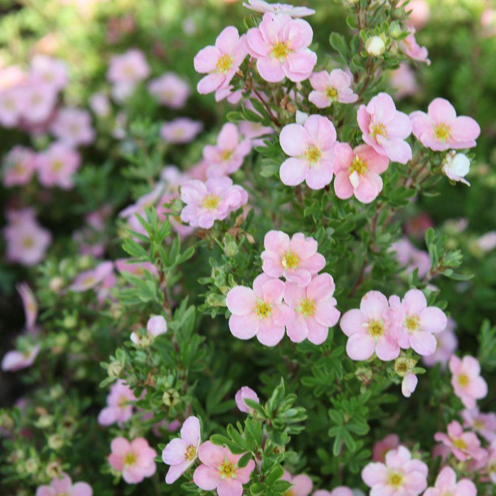 Potentilla fruticosa Pink Beauty Large Plant Shrubs Van