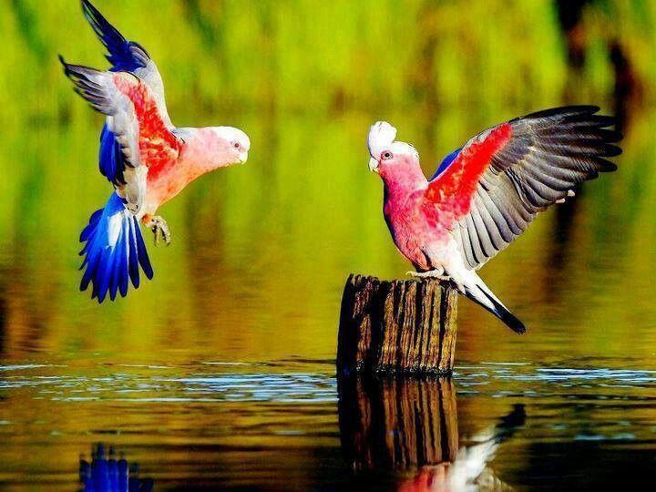 These Love Birds Are Very Patriotic Beautiful Bird Wallpaper Pet Birds Birds