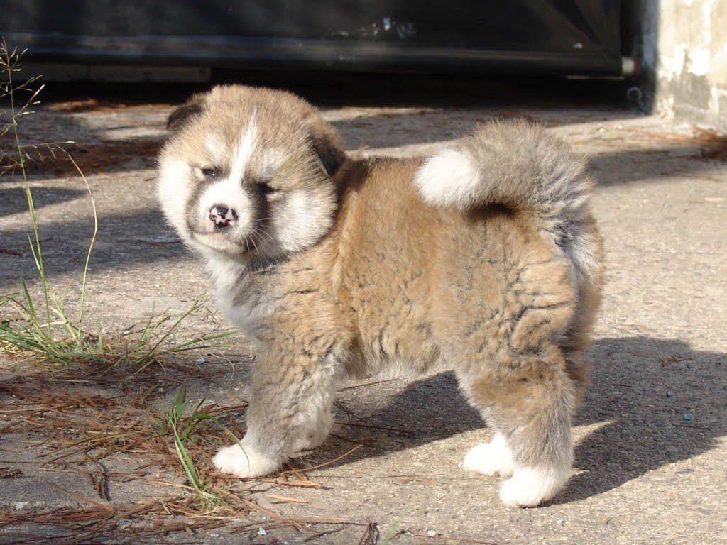 Ein Akita Inu Welpe Hund Akita Akita Und Tier Fotos