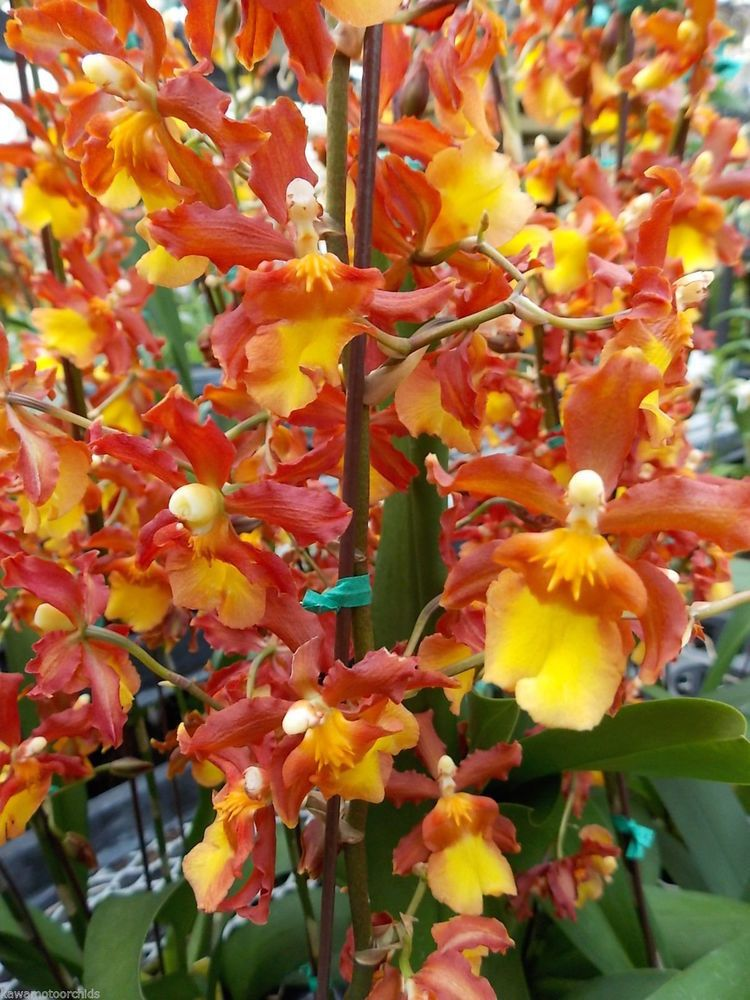 Onc  catatante 'Orange Kiss' Candy Corn orchid- Easy to grow