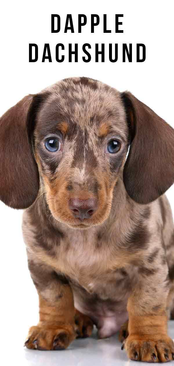Blue Dapple Mini Dachshund Puppies For Sale They Are Great With