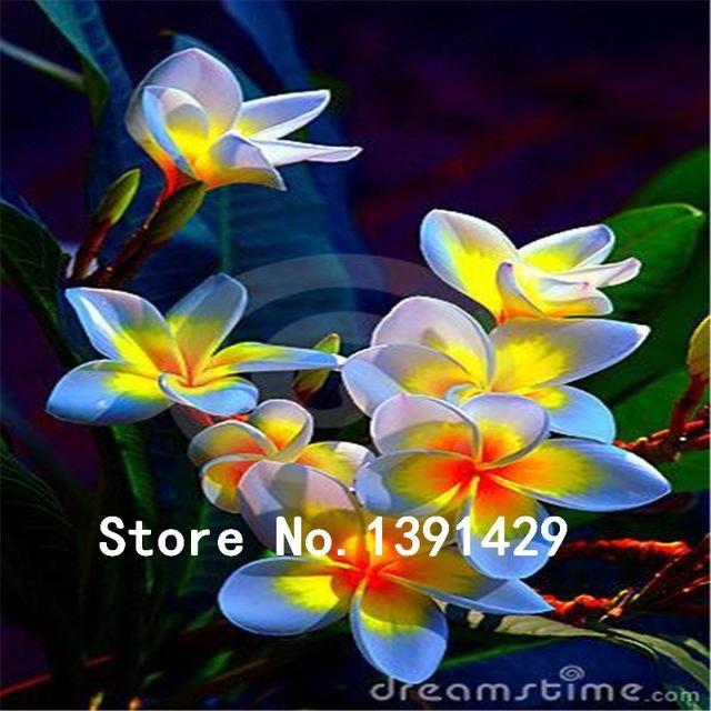 100pcs Hawaiian Plumeri/ Frangipani seeds