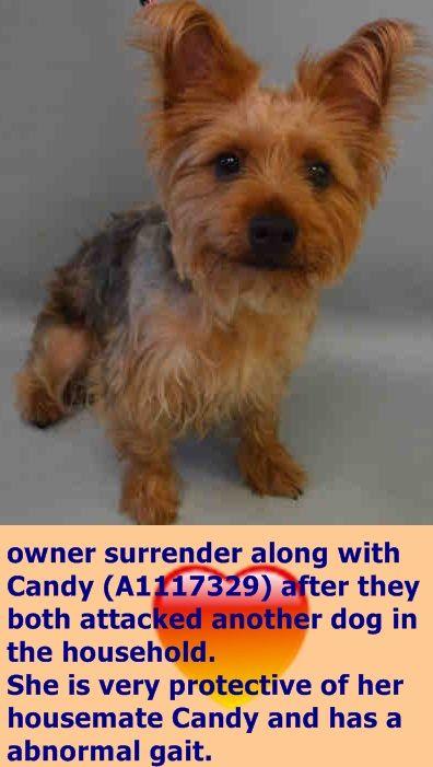 Cali A1117330 Female Gray Tan Yorkshire Terr Mix 1 Yr Owner Sur Reason Biteanimal Intake Date 07 03 2017 Htt Dog Safe Animal Shelter Dog Adoption