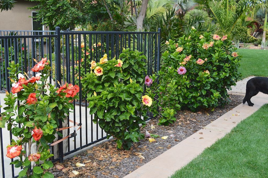Hibiscus Front Corner Plant Hibiscus Garden Front Yard Landscaping Plans Planting Flowers