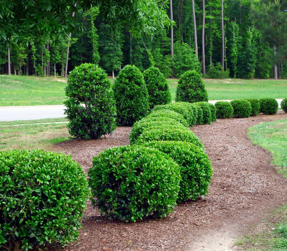Image result for juniper bush trees and bushes for Green bushes for landscaping