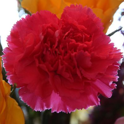 Scientific Name For The Carnation Carnation Facts Growing Carnation Flowers Dianthus Caryophyllus Carnation Flower Growing Carnations