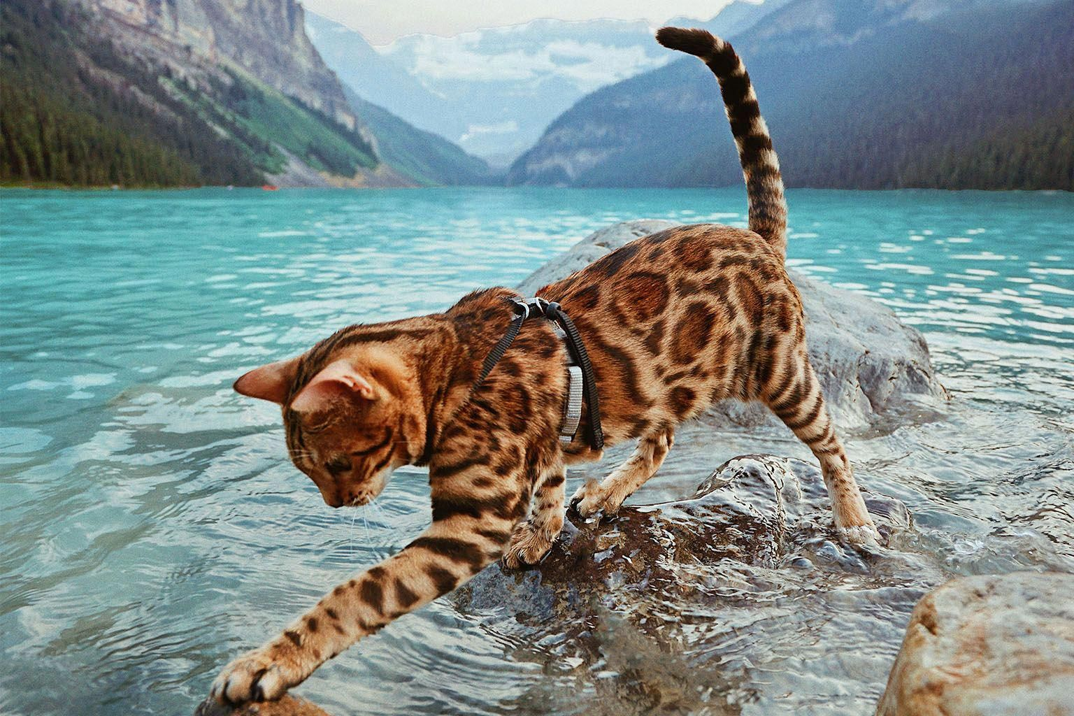 Bengal S Breathtaking Photos Will Fill You With Travel Envy Adventure Cats Adventure Cat Cats Bengal Cat