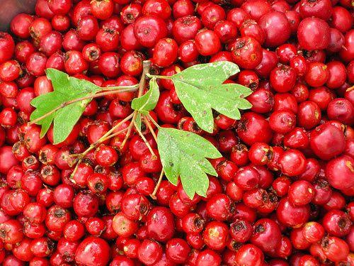 Dansk artsnavn Éngriflet Hvidtjørn.  Spiselige dele. Bladene kan anvendes til te og frugterne kan koges til grød.  Anvendelse som lægeplante. Blade og blomster af Éngriflet Hvidtjørn anvendes som et hjertestyrkende middel. Planten indtages som et alkoholbaseret ekstrakt eller som te. Virkningen er dokumenteret videnskabeligt. Frugterne af Éngriflet Hvidtjørn indeholder samme stoffer og anvendes på samme måde som blade og blomster, men virkningen er ikke dokumenteret videnskabeligt…
