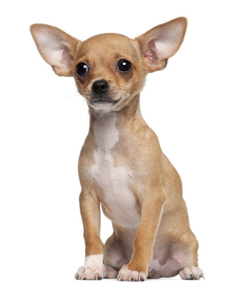 Chihuahua Chihuahua Puppies Chihuahua Dogs Chihuahua
