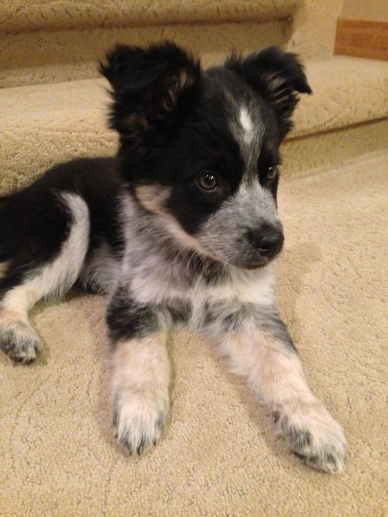 Border Collie / Blue Heeler Mix!! This Little Guy Is So Adorable