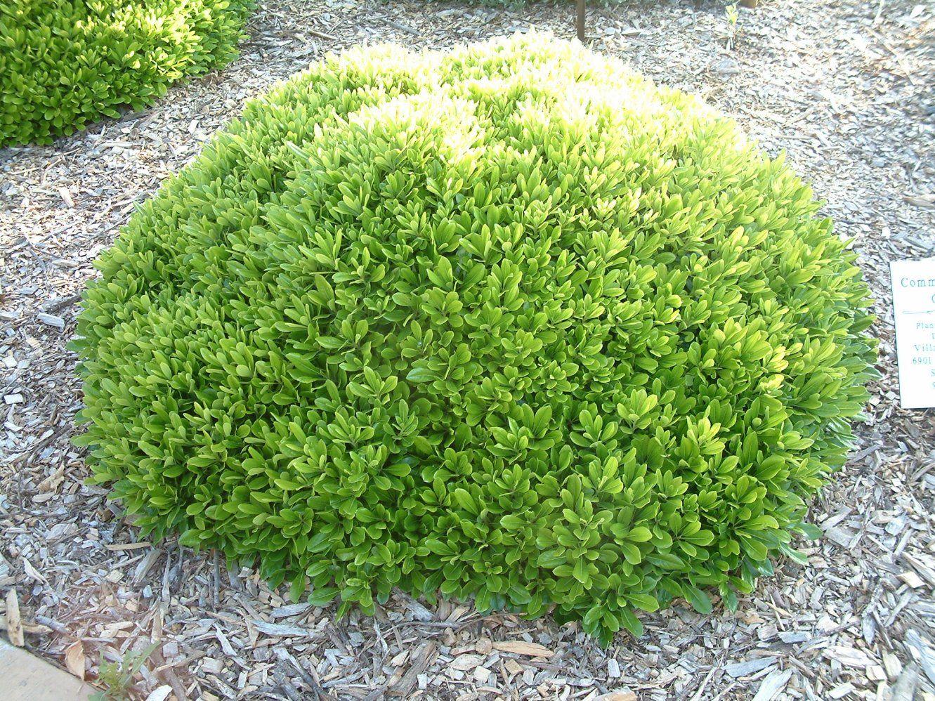Picture of Live Japanese Mock Orange aka Pittosporum t. 'Wheelers Dwarf Shrubs Plant Fit 1 Gallon Pot