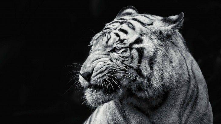 White Tiger Desktop Wallpaper Wicked Wallpaper Free Hd
