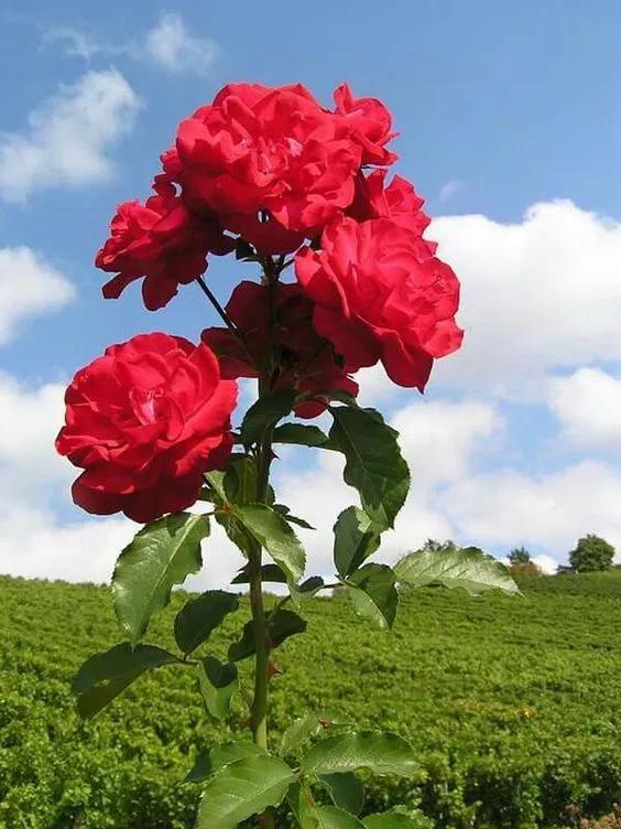 خلفيات ورود جميلة جدا 2019 اجمل صور ورد في العالم 2020 فوتوجرافر Flowers Free Images Photo