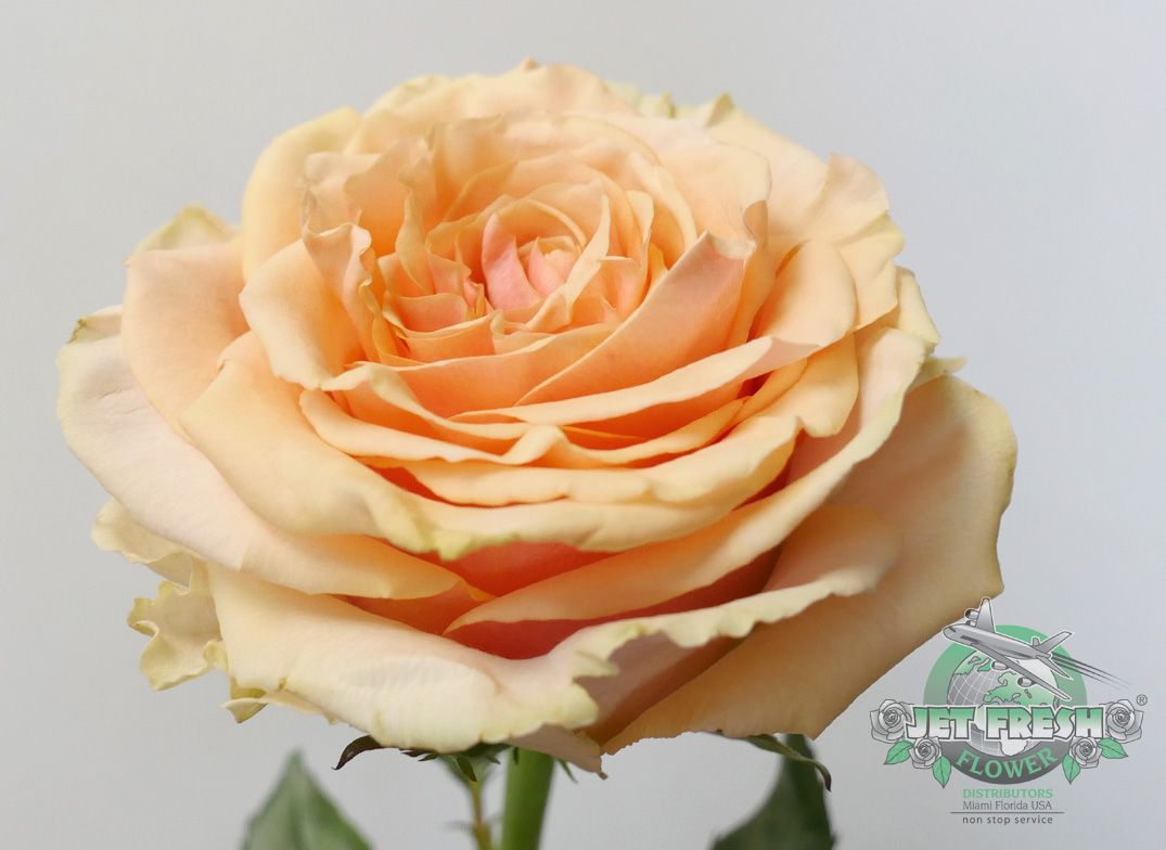Home bulk roses peach roses - Have You Ever Seen A Peach Rose As Beautiful As Ghobi This Light